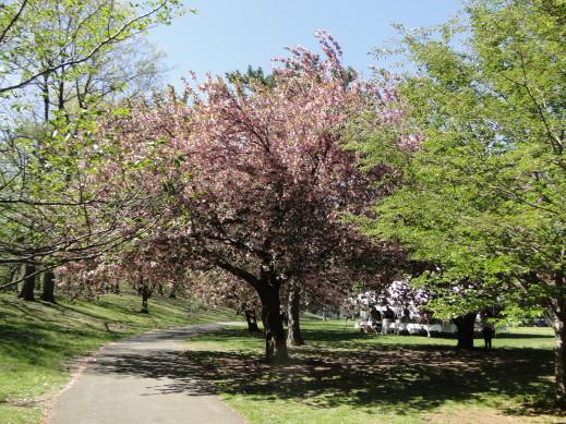 cherry tree5